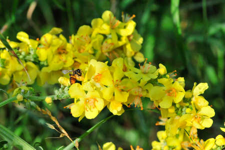 Verbascum, common name mullein (velvet plant), is a genus of figwort family Scrophulariaceae. One of the varieties of plants Verbaskum.