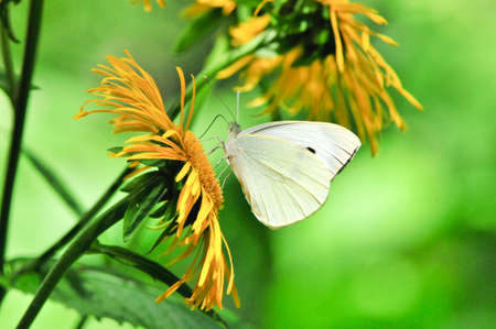 Pieris mannii is a butterfly in the family Pieridae. Elecampane, Inula helenium, also known as horse heal or elfdock, is a widespread plant species in the sunflower family of Asteraceae.