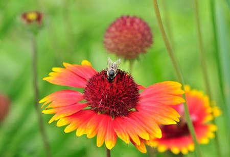 Gaillardia, Gaillardia pulchella is a genus of plants of the Asteraceae family.