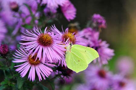 Butterfly drinking nectar from flowers of chrysanthemums. Gonepteryx rhamni (pieridae)