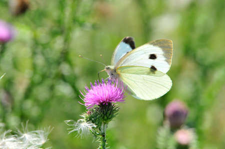 Pieris brassicae, the large white, also called the cabbage of the butterfly; Carduus is a genus of flowering plants in the aster family Asteraceae.