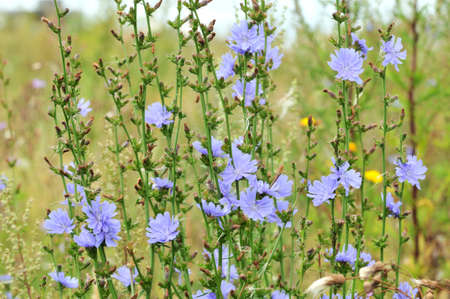 Cichorium, common chicory - is a genus of biennial or perennial grasses of the Astrovye family, or Compositae.