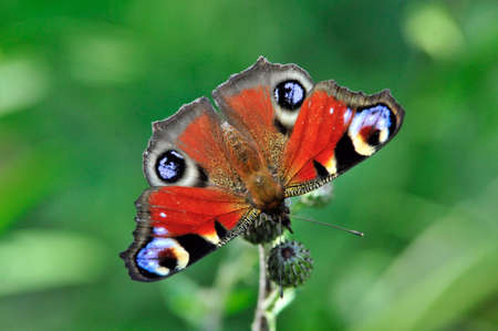 The European Peacock (Aglais io), more commonly known as the Peacock butterfly, is a colorful butterfly.