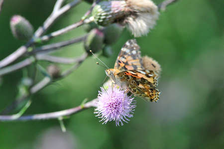 Painted Lady (Vanessa cardui) is a day butterfly from the Nymphalidae family.