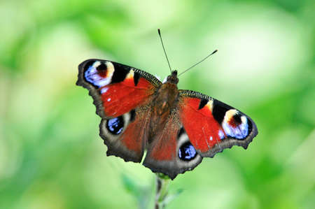 The European Peacock (Aglais io), more commonly known as the Peacock butterfly, is a colorful butterfly. Reklamní fotografie