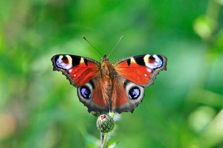 Le paon européen (Aglais io), plus communément connu sous le nom de papillon paon, est un papillon coloré.