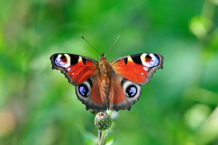 The European Peacock (Aglais io), more commonly known as the Peacock butterfly, is a colorful butterfly. Foto de archivo
