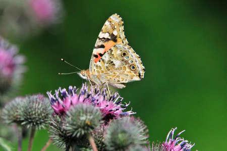 Distelfalter (Vanessa cardui) ist ein Tagfalter aus der Familie der Nymphalidae. Arctium - allgemein bekannt als Klette, Familie Asteraceae. Standard-Bild