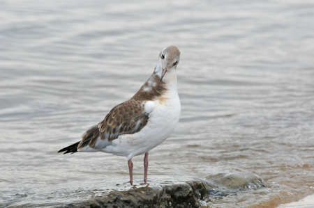 A seagull cleans feathers.Young bird, chick. Black-headed gull, bird.