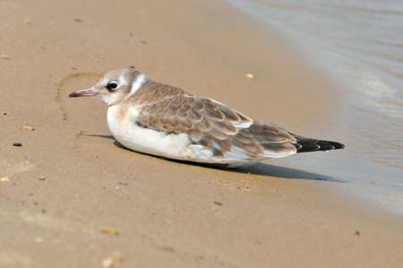 A young seagull lying on the sand basks in the sun. Black headed gull, bird.