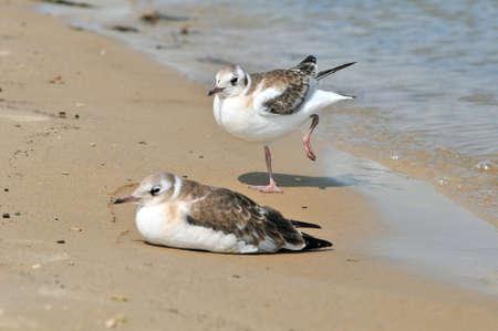 Black headed gull, bird. Two young gulls bask in the sun on the riverbank. 版權商用圖片