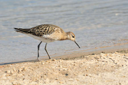 A sandpiper bird walks along a sandy beach and searches for food on the banks of the Volga River. Kazan, Russia.