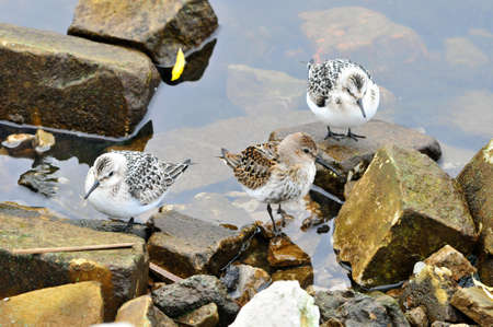Migratory birds rest on the bank of the Volga River. The western sandpiper (Calidris mauri) is a small shorebird. The sanderling (Calidris alba) is a small wading bird.