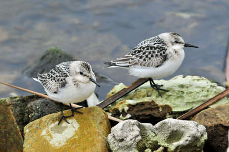 Migratory birds rest on the bank of the Volga River. The sanderling (Calidris alba) is a small wading bird.