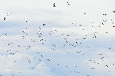 Flight of a flock of gulls over the bank of the Volga River. Banque d'images