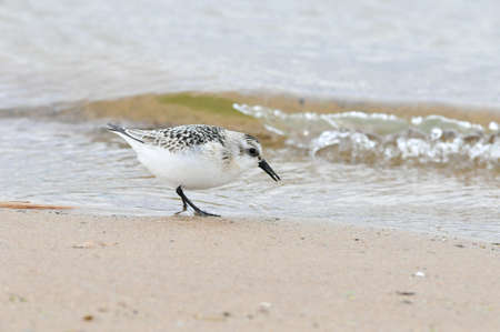 A little bird walks in search of food along the banks of the Volga River. The sanderling (Calidris alba) is a small wading bird.