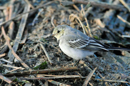 White wagtail, young bird. The wagtails form the passerine bird genus Motacill