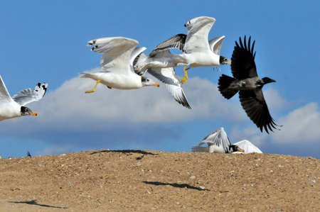 A flock of young gulls and a gray crow take off from the sandy bank of the Volga River.