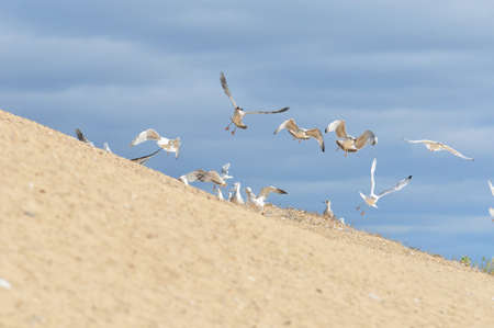 Flight of a flock of young gulls over the bank of the Volga River.