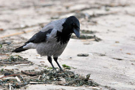 Hooded crow stands on the sandy bank of the spit of the Volga River.