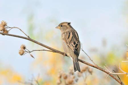 Spatz sitzt auf einem trockenen Ast einer großen Klette, weiblich. Der Haussperling (Passer domesticus) ist ein Vogel aus der Familie der Spatzen (Passeridae).