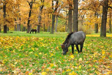 Autumn oak forest, grazing pony and horse. Arboretum