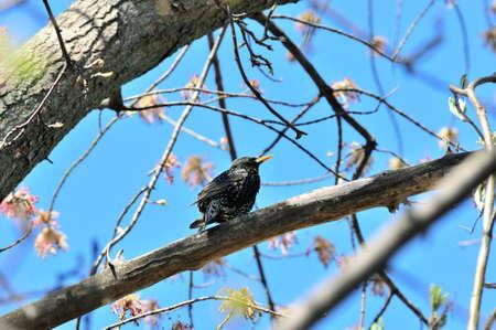 The common starling, European starling - is a medium-sized passerine bird in the starling family, Sturnidae. 版權商用圖片