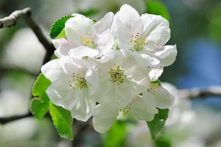 Flowering of apple trees in May Stok Fotoğraf
