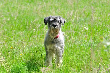 The Standard Schnauzer (Mittelschnauzer), middle schnauzer is a medium sized service dog belonging to the group of schnauzers.
