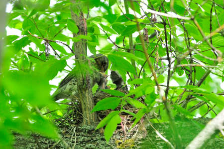 A bird feeds the chicks in the nest. The fieldfare (Turdus pilaris) is a member of the thrush family Turdidae.