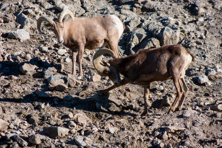 africa  wildlife: Aoudad Barbary Sheep Out of Africa Wildlife Park Stock Photo