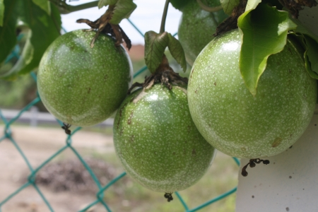Bunch of fresh passion fruits photo