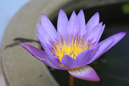 waterlilly: Close up lotus flower in pot