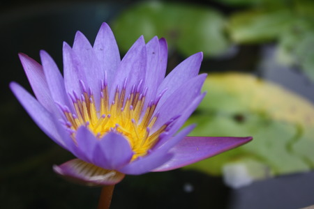 waterlilly: Close up lotus flower