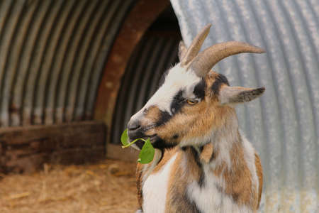 A goat eating leaves Stock Photo