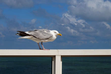 Herring seagull standing on the hand rail of an ocean liner, cloudy blue sky behind it