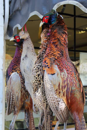 game bird: Pheasants, a popular game bird, hanging outside a traditional butchers shop Stock Photo