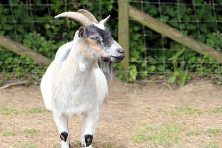 A white farm goat looking to the right