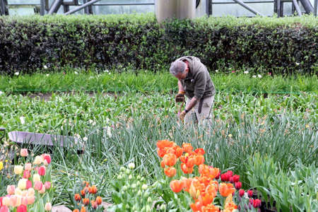 Bodelva, Cornwall, UK - April 4 2017: Gardening staff working in the tulip beds at the Eden Project Environmental exhibition in Cornwall, England