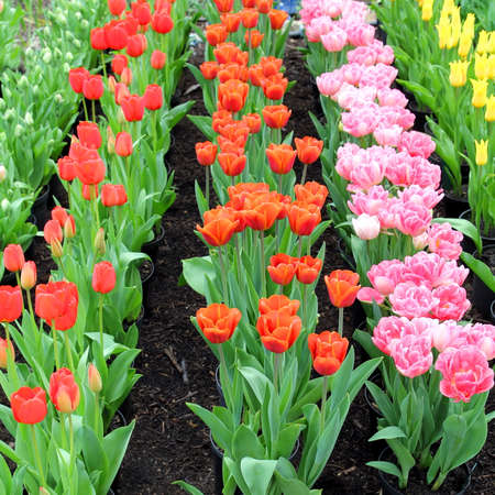 regimented: Neatly planted rows of red, orange, pink and yellow tulips Stock Photo