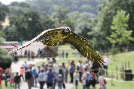 scavenger: A juvenile bearded vulture (Gypaetus barbatus), also known as the lammergeier or ossifrage, flying over members of the public at a falconry display