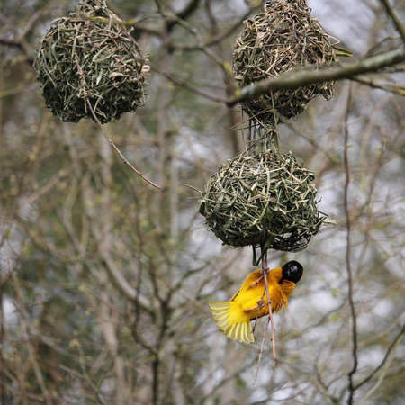Male Village weaver (Ploceus cucullatus), also known as the spotted-backed weaver or black-headed weaver,building its distinctive woven nest