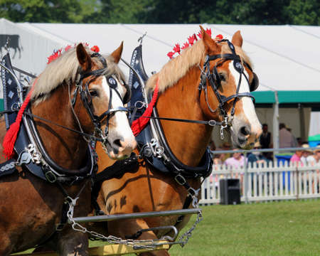 Guildford, England - May 28 2018: two bay Shire horses in traditional leather tack pulling a Dray or open wooden wagon Editoriali