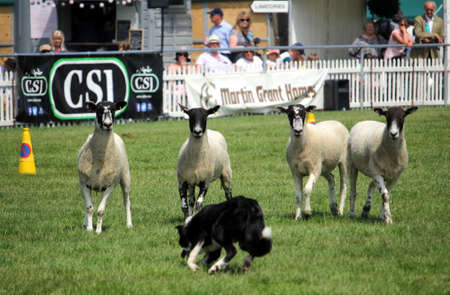 Guildford, England - May 28 2018: Four black faced sheep nervously watching the approach of a Border Collie sheep dog