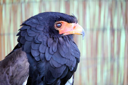 Portrait of a Bataleur Eagle (Terathopius Ecaudatus) with its distinctive black ruff and orange hooked beak