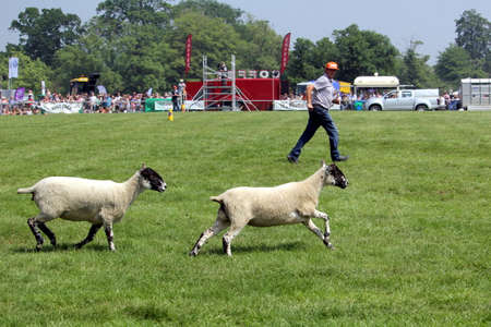 Guildford, England - May 28 2018: Farmer running alongside his two sheep at a sheep dog trial.