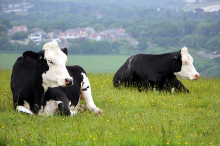 Two black and white Friesian cows lying on a hillside meadow with a village in the background Stock Photo