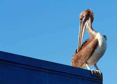 Pelican on Ledge Stock Photo - 11323343