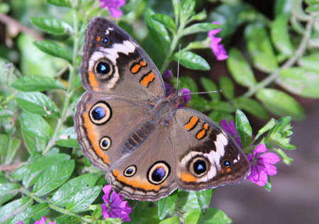 Buckeye Butterfly photo