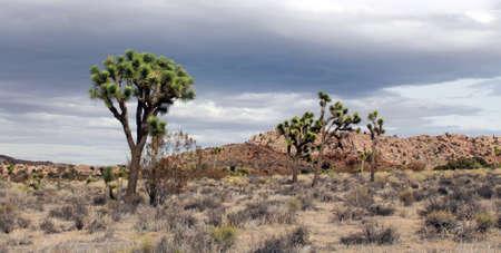 Joshua Trees and rain clouds in Joshua Tree National Park, California, USA